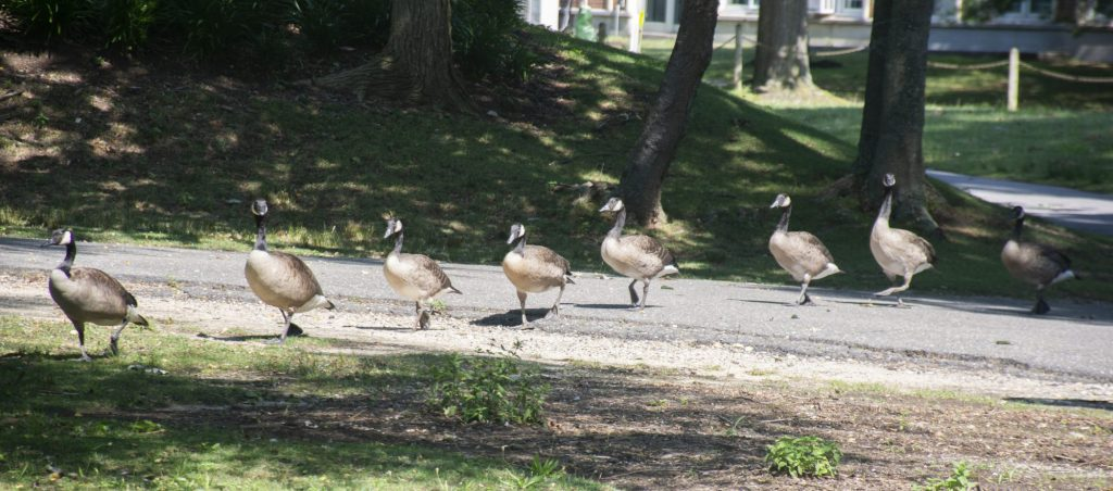 Geese walk en masse near Roth Pond at Stony Brook University on Thursday, July 25, 2019. Overpopulation of resident Canadian Geese are causing problems on the campus. The droppings from the animals can cause health problems. Photo by Alexandra Weldon